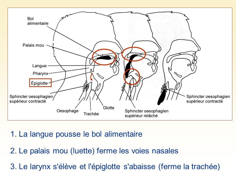 1. La langue pousse le bol alimentaire