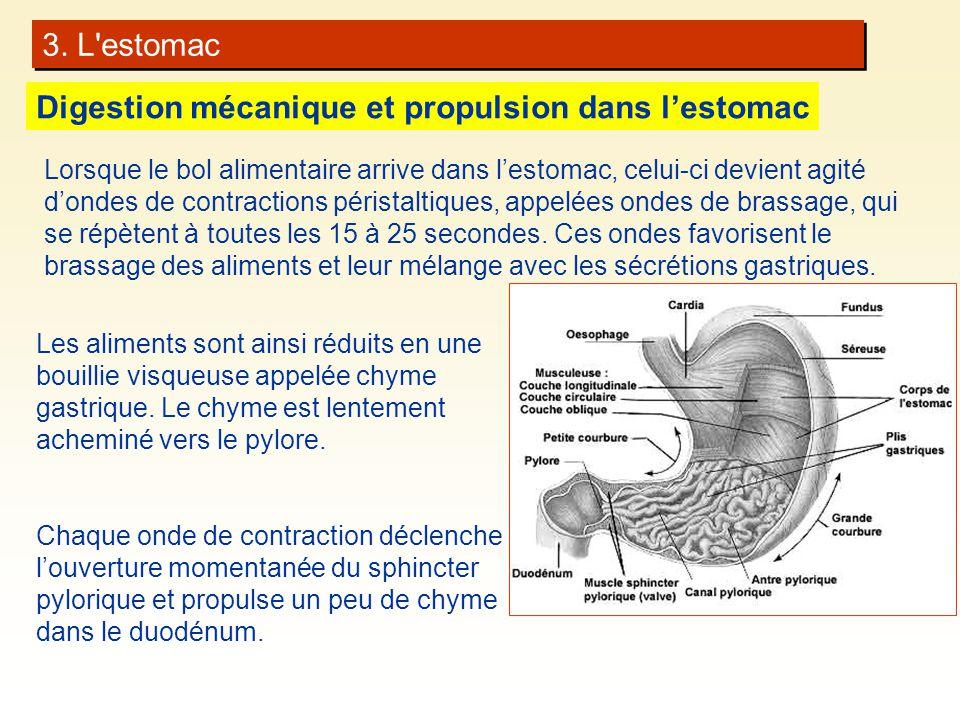 Digestion mécanique et propulsion dans l'estomac