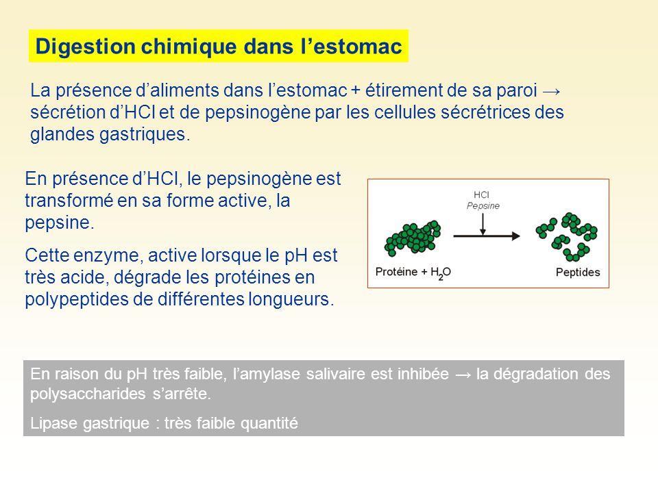 Digestion chimique dans l'estomac
