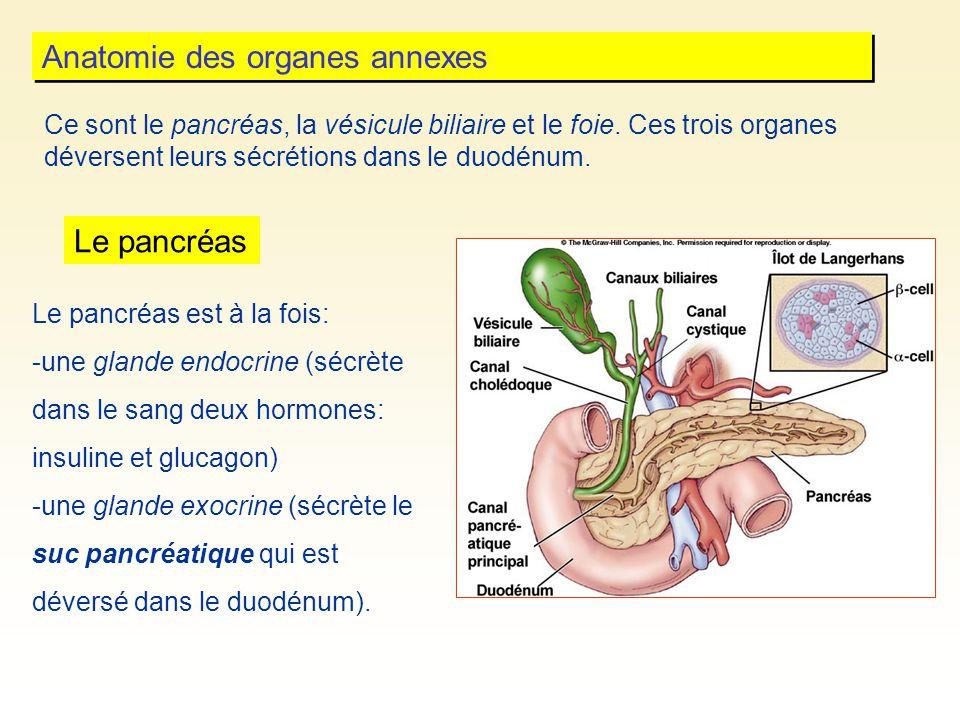 Anatomie des organes annexes