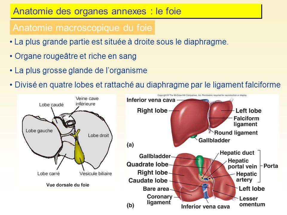 Anatomie des organes annexes : le foie