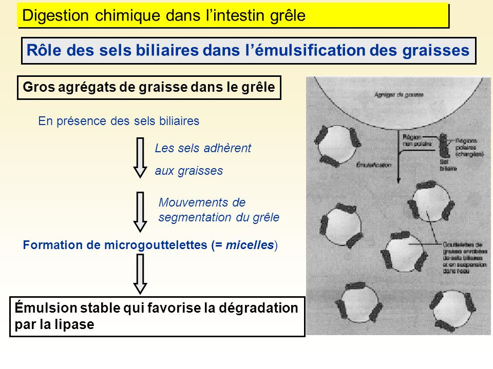 Digestion chimique dans l'intestin grêle