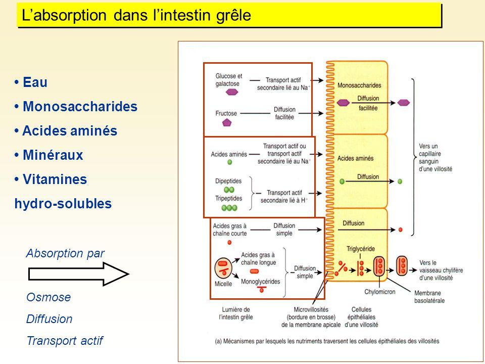 L'absorption dans l'intestin grêle