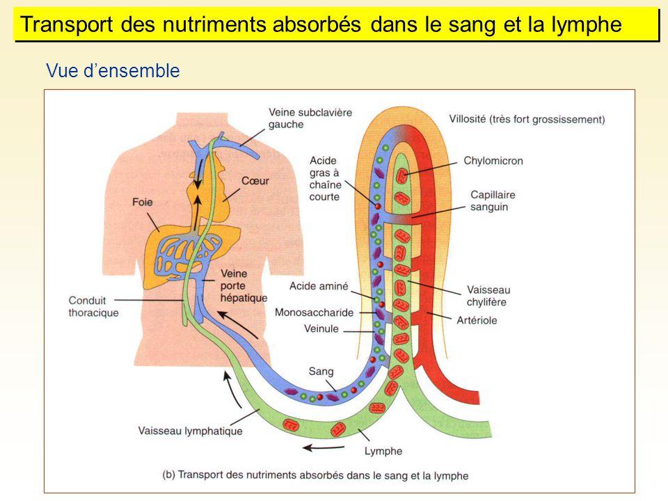 Transport des nutriments absorbés dans le sang et la lymphe