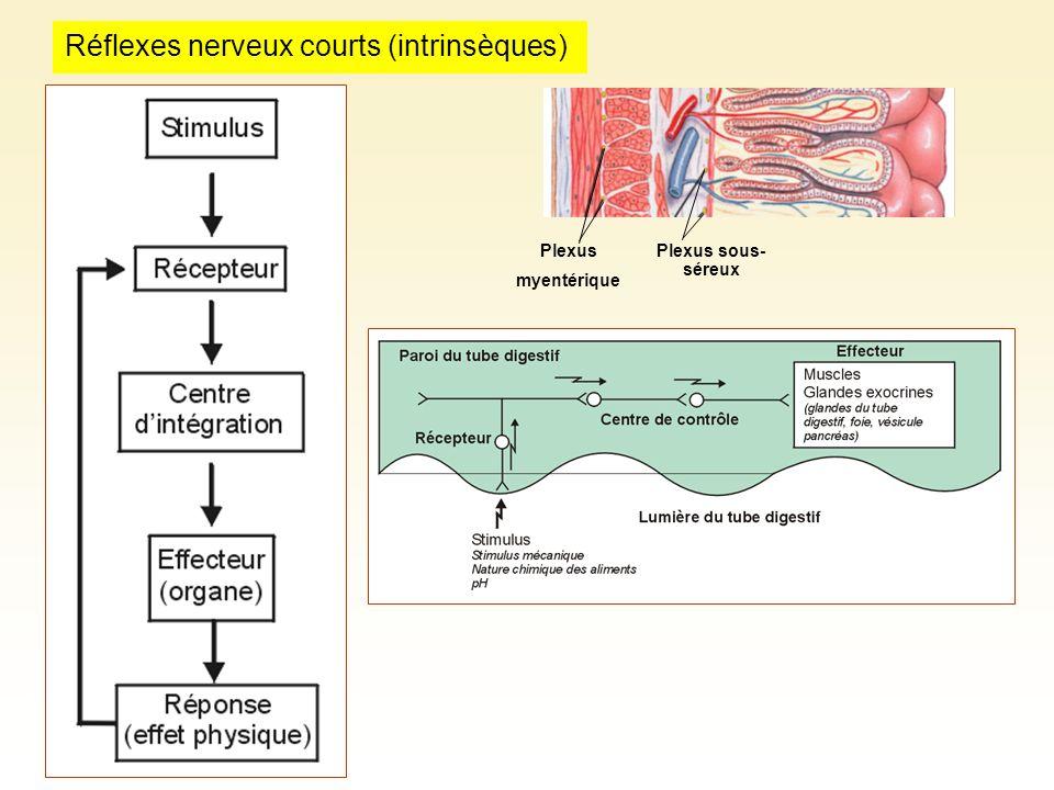Réflexes nerveux courts (intrinsèques)