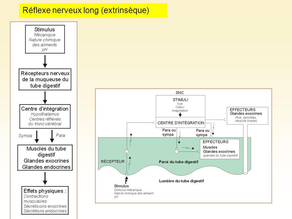 Réflexe nerveux long (extrinsèque)