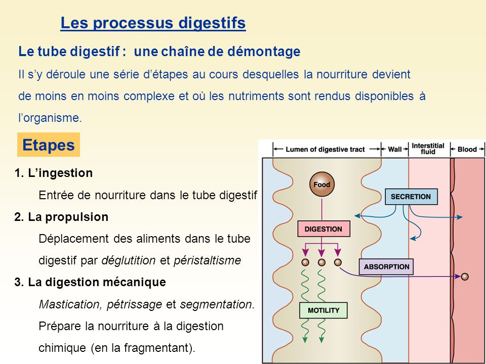Les processus digestifs