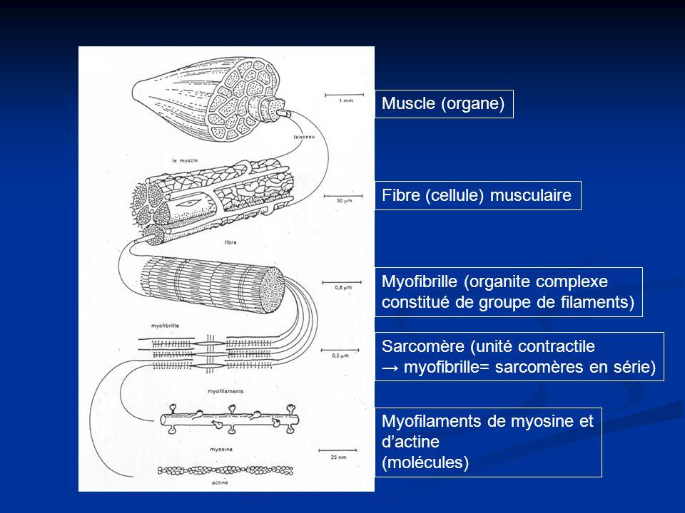 Muscle (organe) Fibre (cellule) musculaire. Myofibrille (organite complexe. constitué de groupe de filaments)