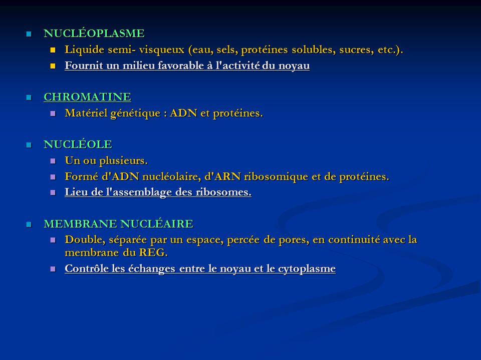 NUCLÉOPLASME Liquide semi- visqueux (eau, sels, protéines solubles, sucres, etc.). Fournit un milieu favorable à l activité du noyau.
