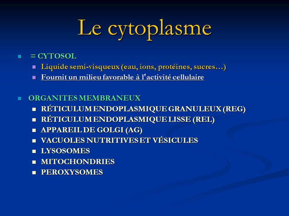 Le cytoplasme = CYTOSOL