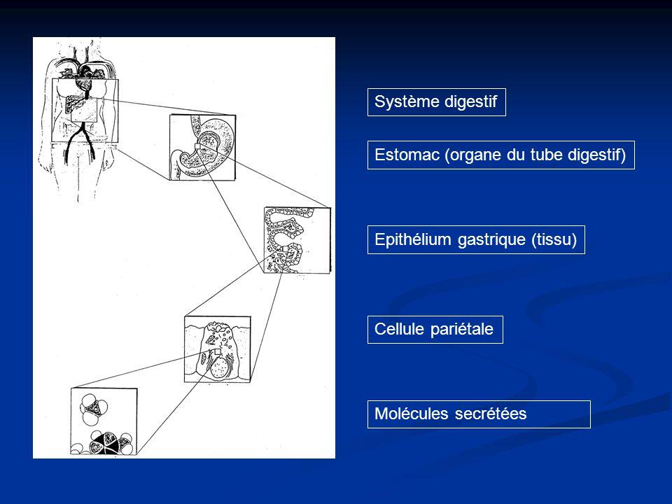 Système digestif Epithélium gastrique (tissu) Cellule pariétale.