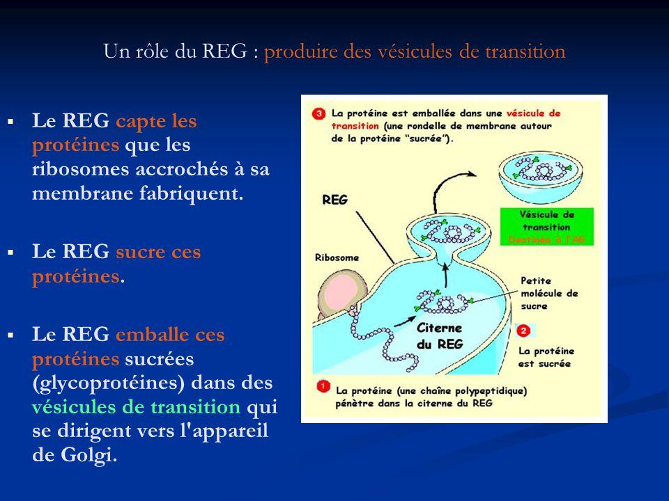 Un rôle du REG : produire des vésicules de transition