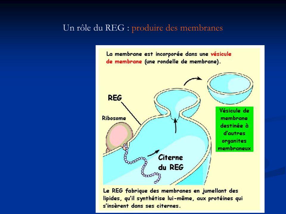 Un rôle du REG : produire des membranes