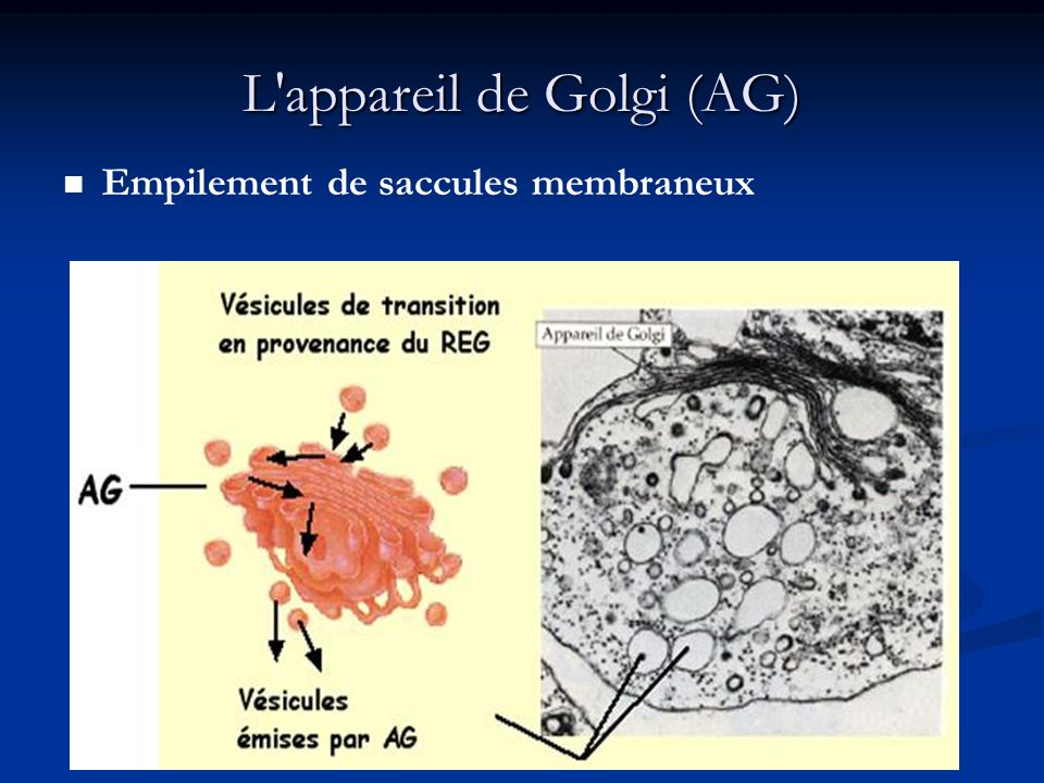 L appareil de Golgi (AG)