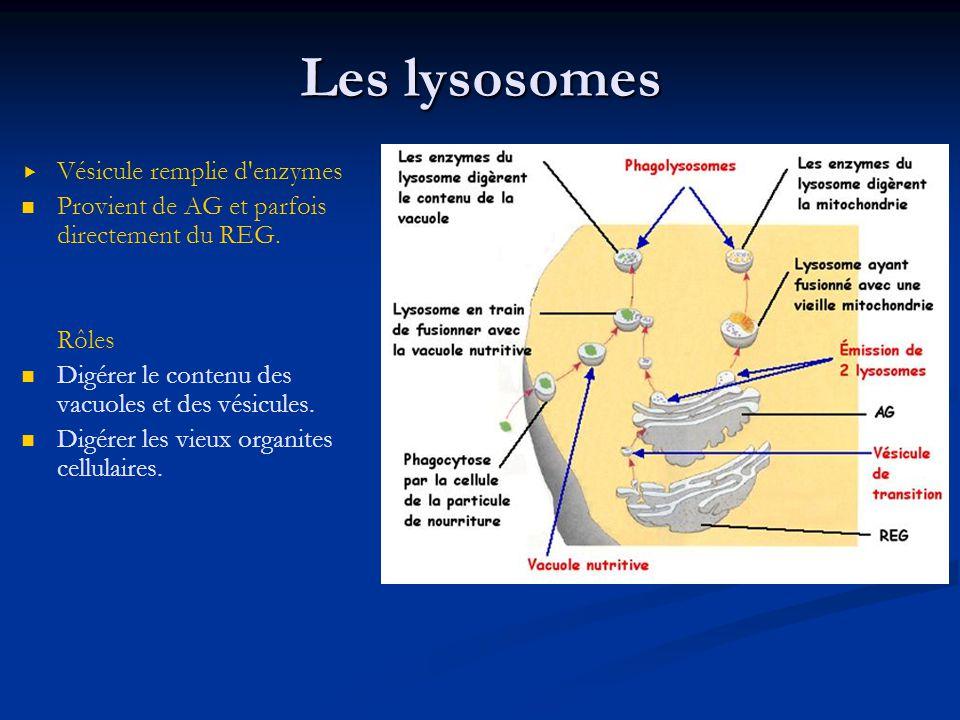 Les lysosomes Vésicule remplie d enzymes