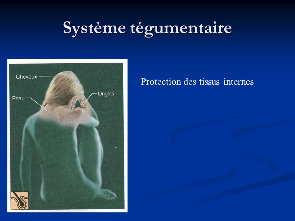 Système tégumentaire Protection des tissus internes