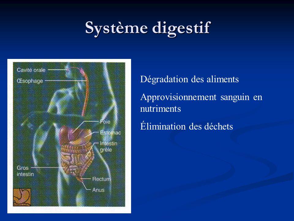 Système digestif Dégradation des aliments