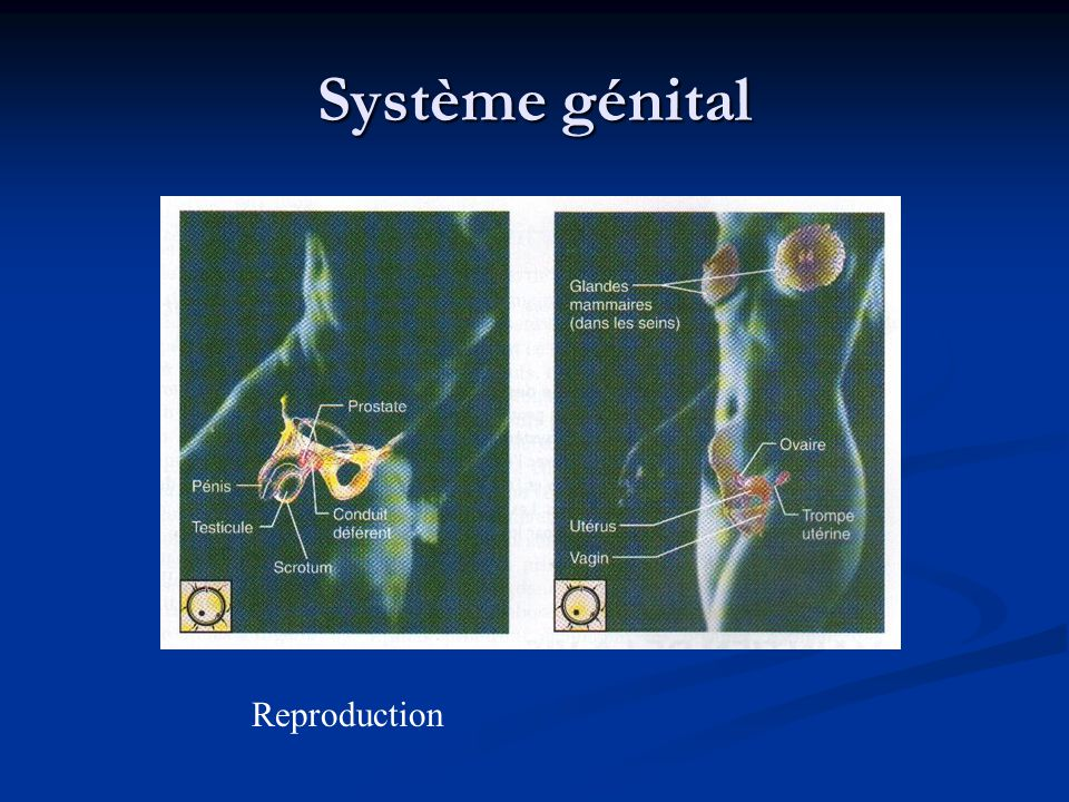 Système génital Reproduction