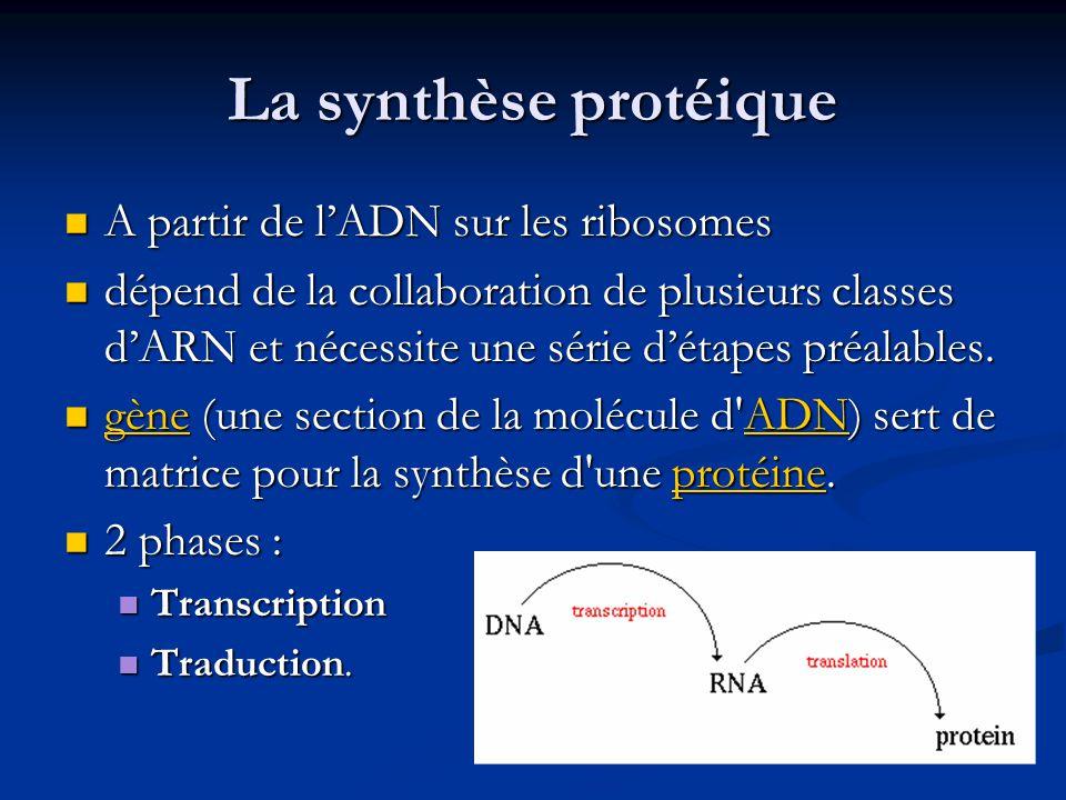 La synthèse protéique A partir de l'ADN sur les ribosomes