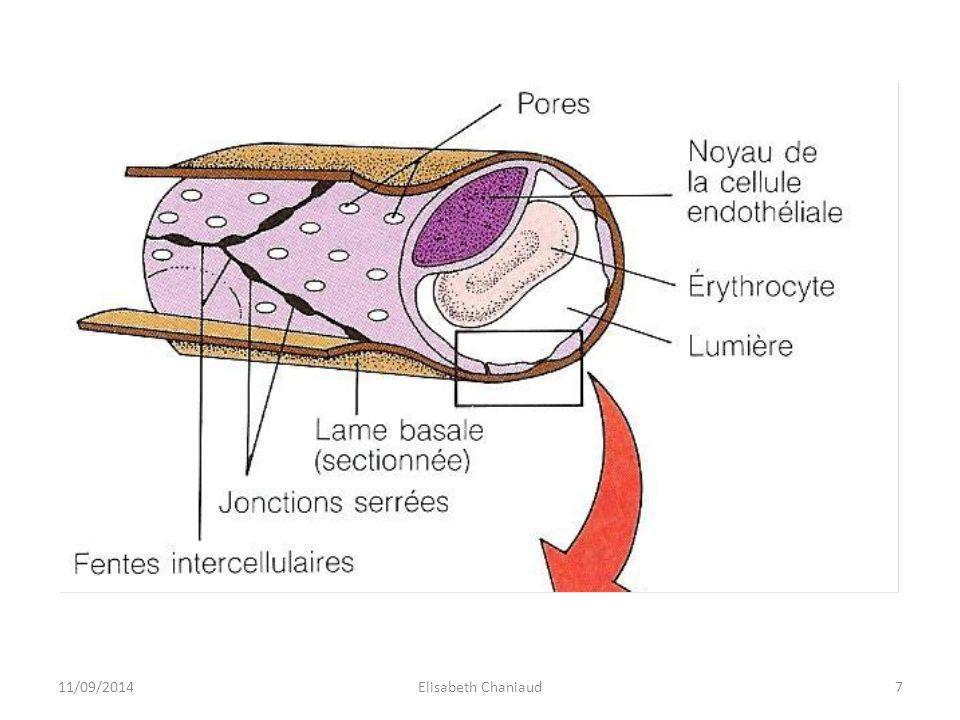 Un agrandissement de l'endothélium permet de visualiser 3 passages différents