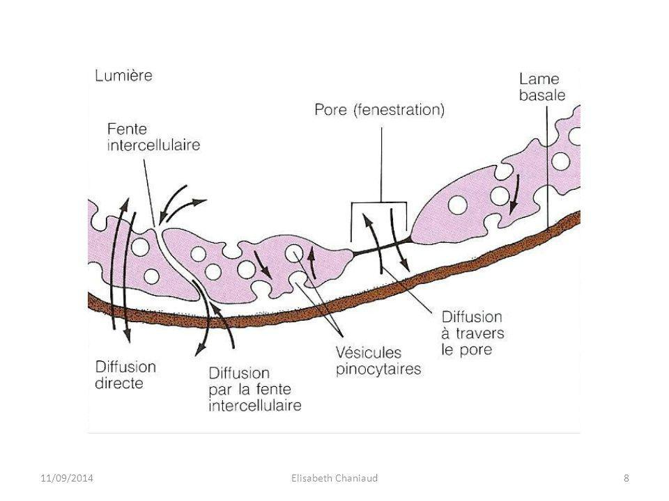 Fentes intercellulaires