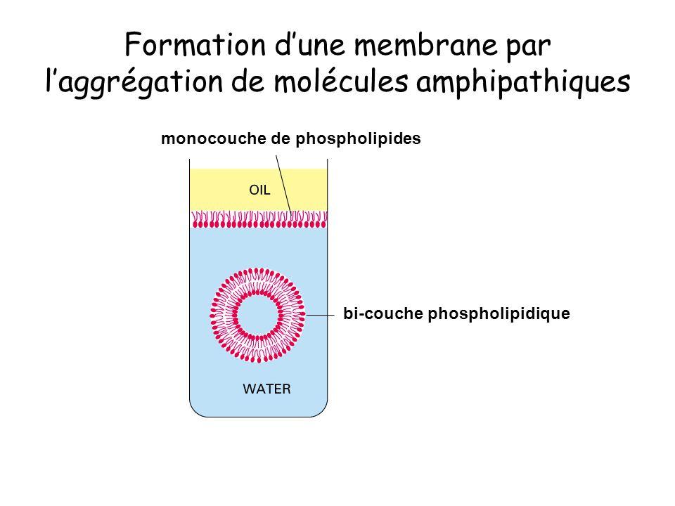 Formation d'une membrane par l'aggrégation de molécules amphipathiques