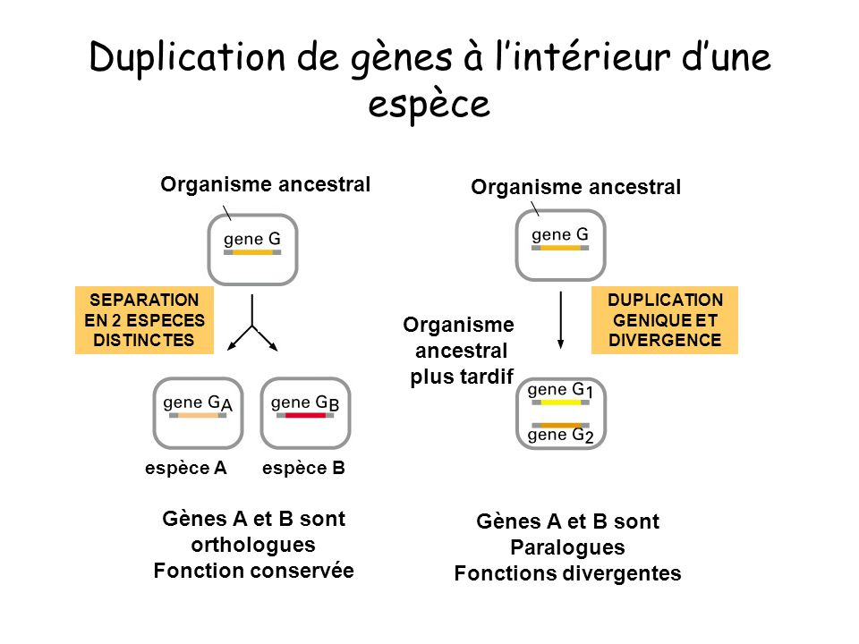 Duplication de gènes à l'intérieur d'une espèce