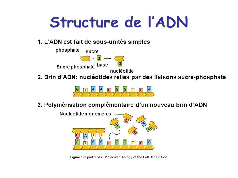 Structure de l'ADN 1. L'ADN est fait de sous-unités simples