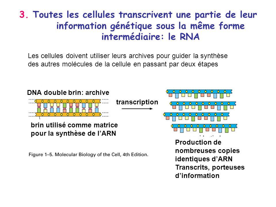 3. Toutes les cellules transcrivent une partie de leur information génétique sous la même forme intermédiaire: le RNA
