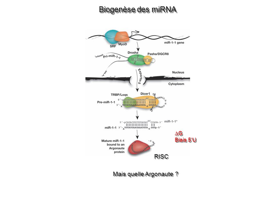 Biogenèse des miRNA 1 G Biais 5'U RISC Mais quelle Argonaute