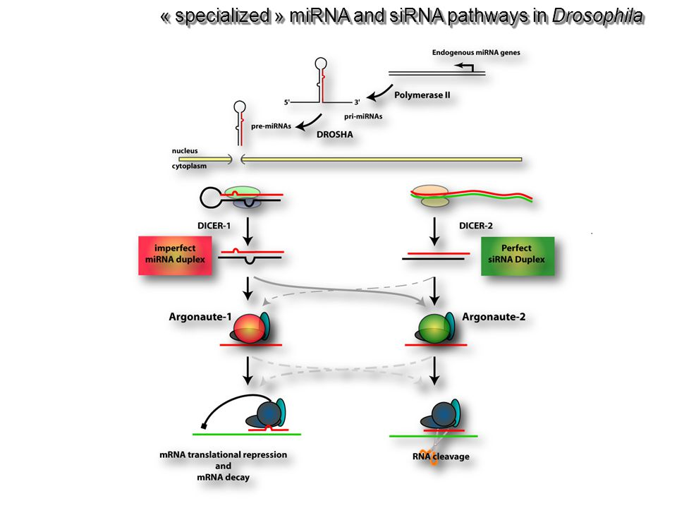 « specialized » miRNA and siRNA pathways in Drosophila