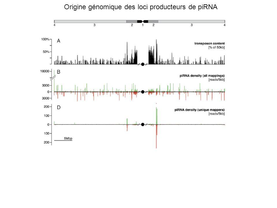 Origine génomique des loci producteurs de piRNA