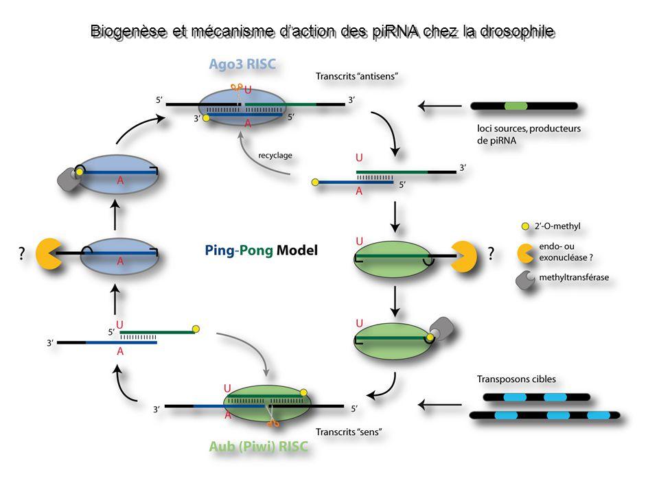 Biogenèse et mécanisme d'action des piRNA chez la drosophile