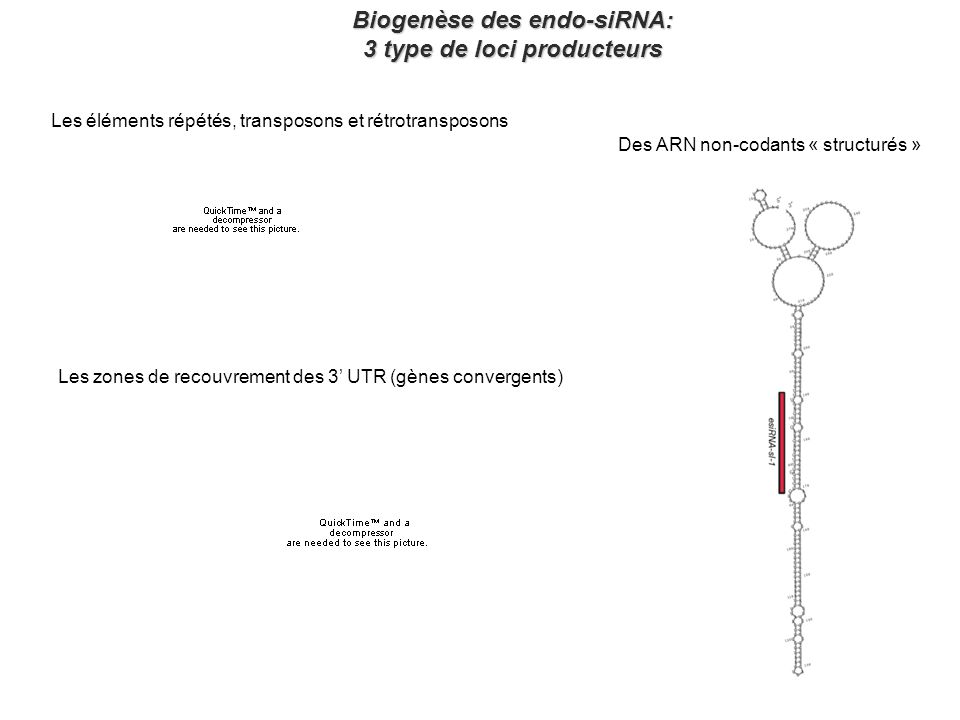 Biogenèse des endo-siRNA: 3 type de loci producteurs