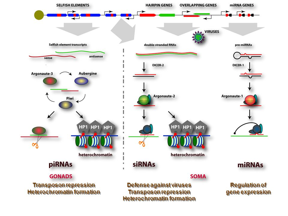 Transposon repression Heterochromatin formation