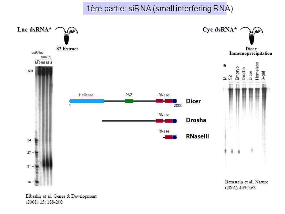 1ère partie: siRNA (small interfering RNA)