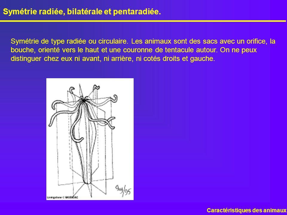 Symétrie radiée, bilatérale et pentaradiée.
