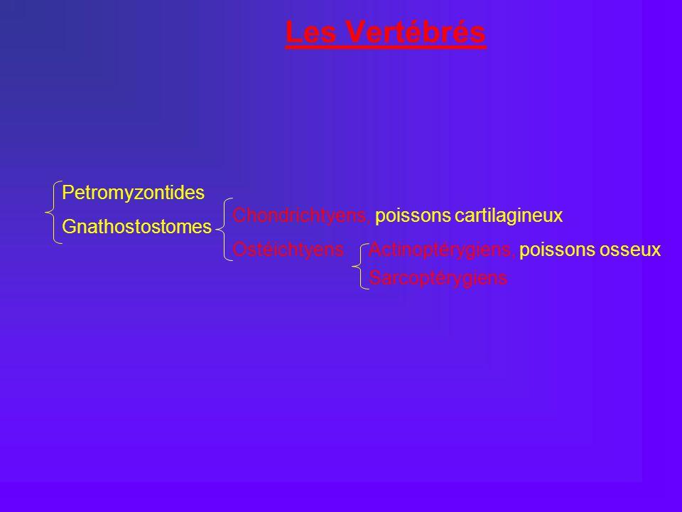 Les Vertébrés Petromyzontides Chondrichtyens, poissons cartilagineux
