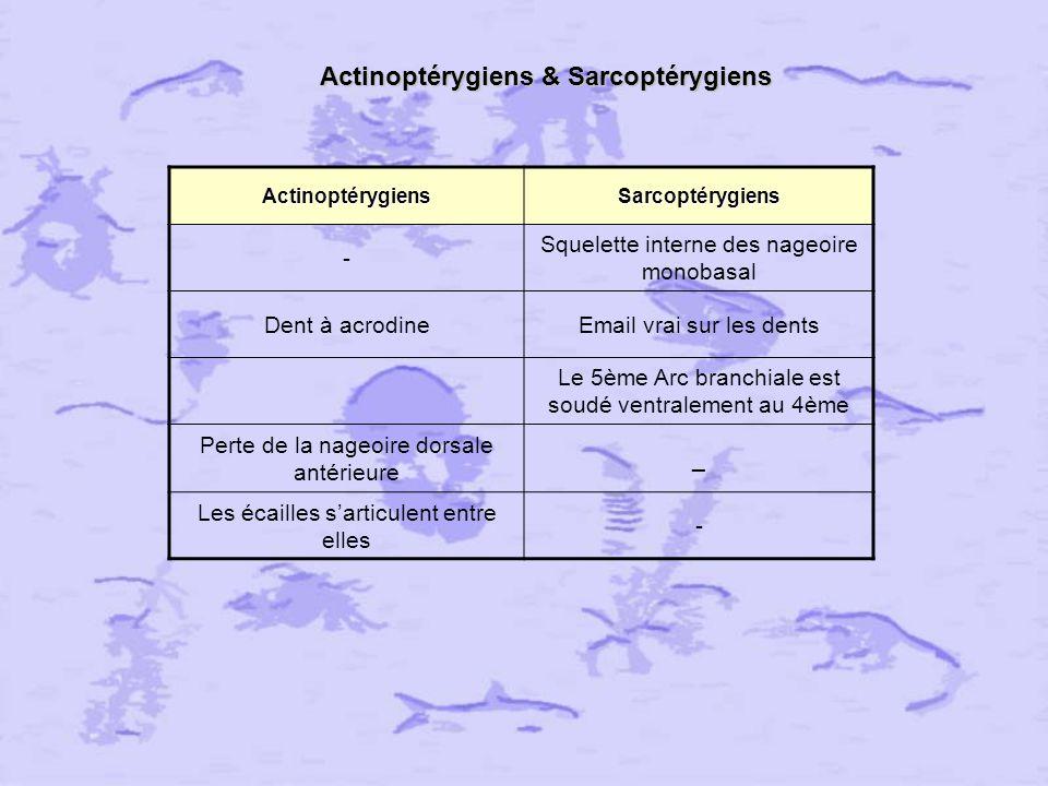 Actinoptérygiens & Sarcoptérygiens