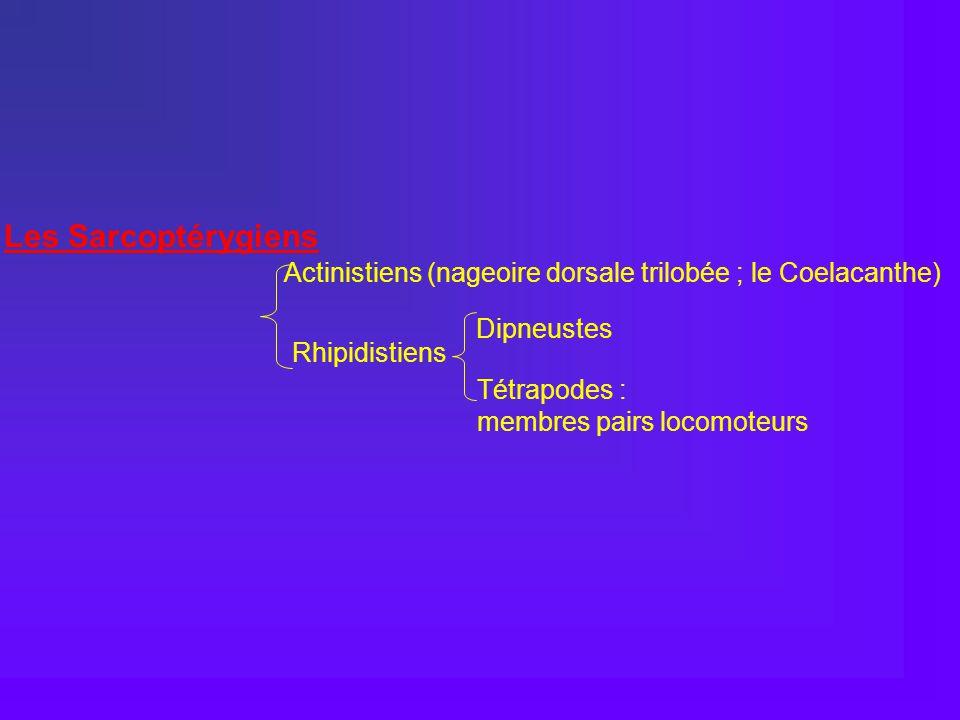Les Sarcoptérygiens Actinistiens (nageoire dorsale trilobée ; le Coelacanthe) Dipneustes. Rhipidistiens.