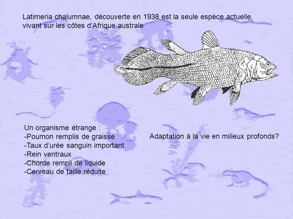 Latimeria chalumnae, découverte en 1938 est la seule espèce actuelle, vivant sur les côtes d'Afrique australe