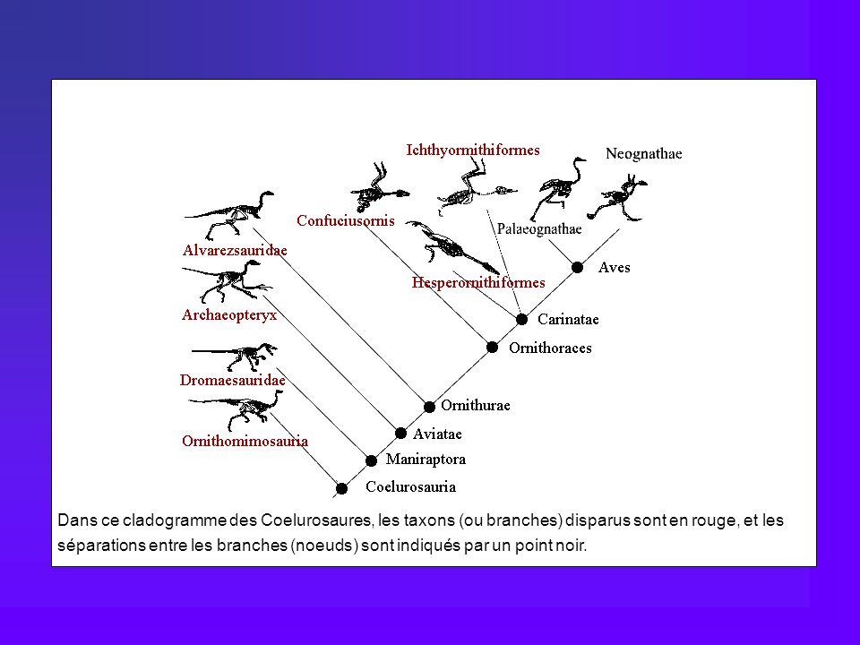 Dans ce cladogramme des Coelurosaures, les taxons (ou branches) disparus sont en rouge, et les séparations entre les branches (noeuds) sont indiqués par un point noir.