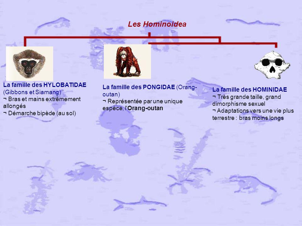 Les Hominoidea La famille des HYLOBATIDAE (Gibbons et Siamang) ¬ Bras et mains extrêmement allongés ¬ Démarche bipède (au sol)