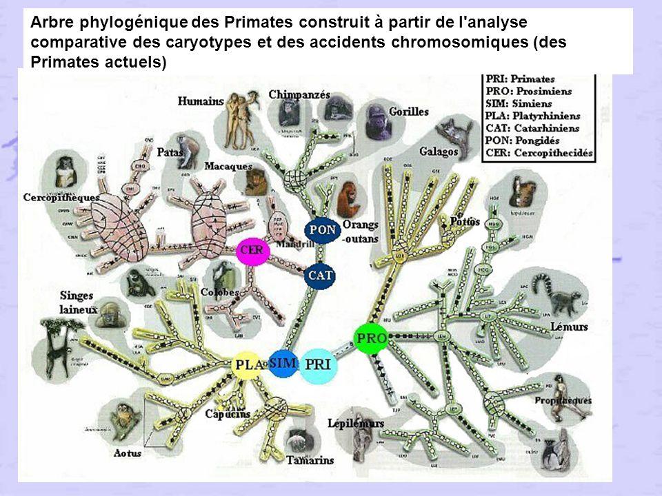 Arbre phylogénique des Primates construit à partir de l analyse comparative des caryotypes et des accidents chromosomiques (des Primates actuels)