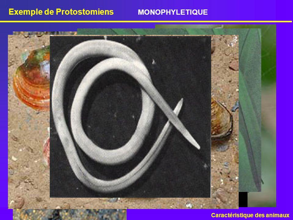 Exemple de Protostomiens