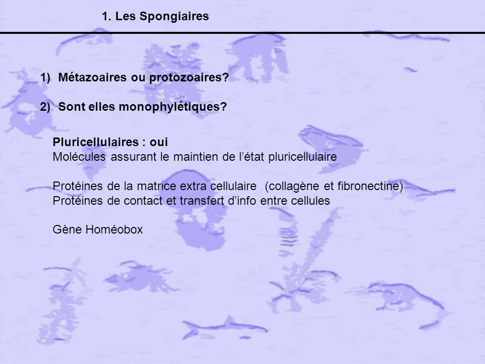 1. Les Spongiaires Métazoaires ou protozoaires Sont elles monophylétiques Pluricellulaires : oui.