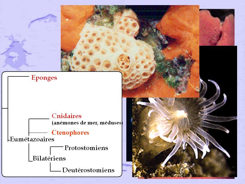 Ctenophores