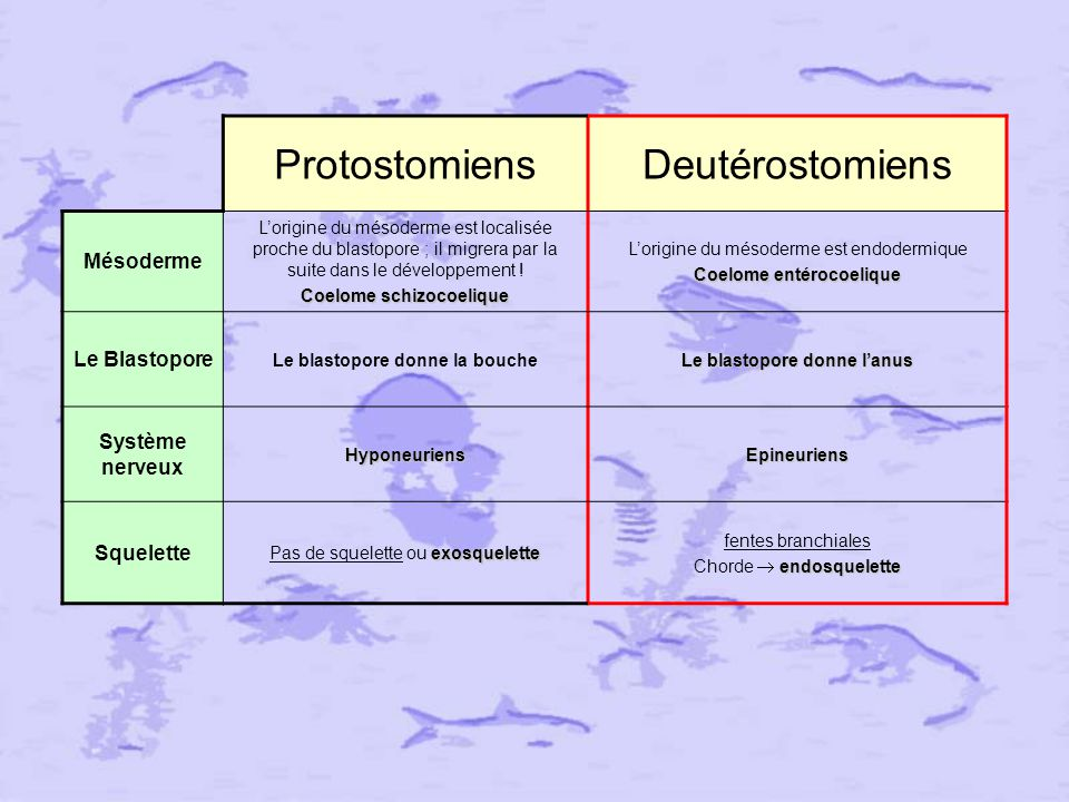 Protostomiens Deutérostomiens Mésoderme Le Blastopore Système nerveux