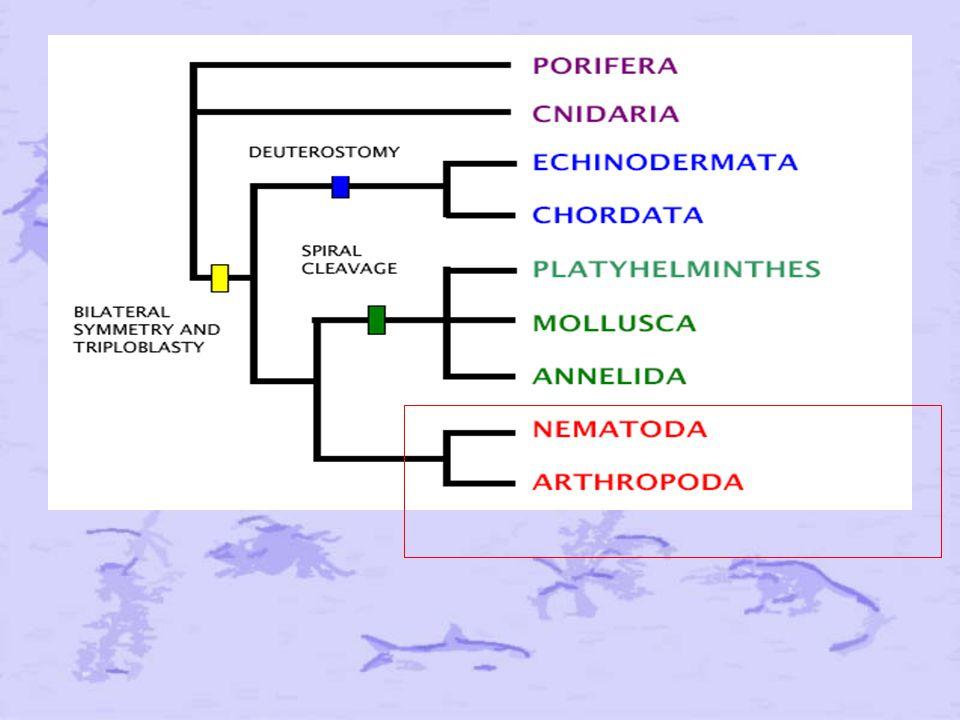 Après avoir traité des Lophotrochozoaires la dernière fois, nous passons au deuxième grand groupe qui a émergé de l'approche phylogénétique : les ECDYSOZOAIRES.