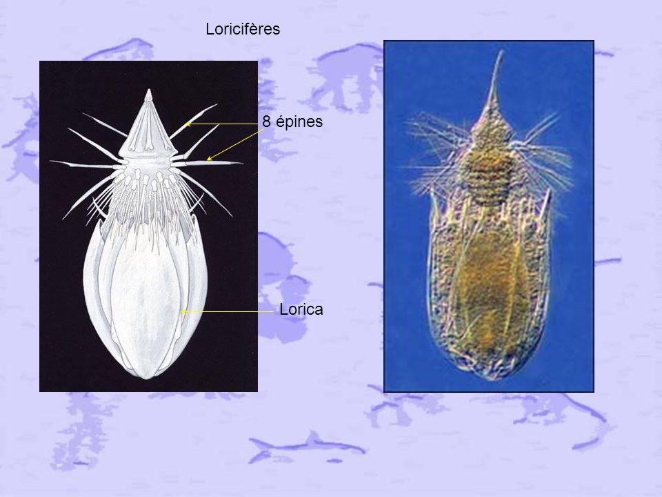 Loricifères 8 épines Lorica